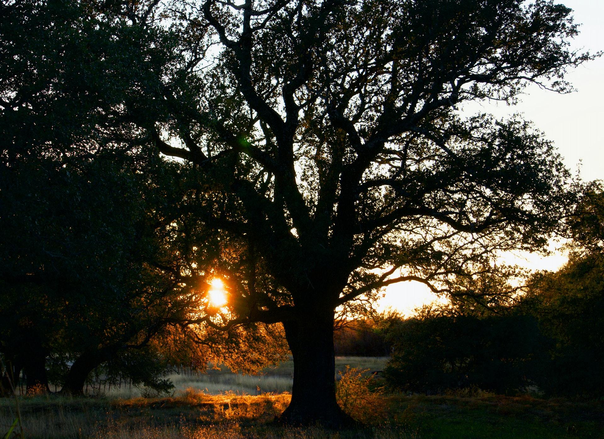 Native Texas hardwood tree often used for flooring