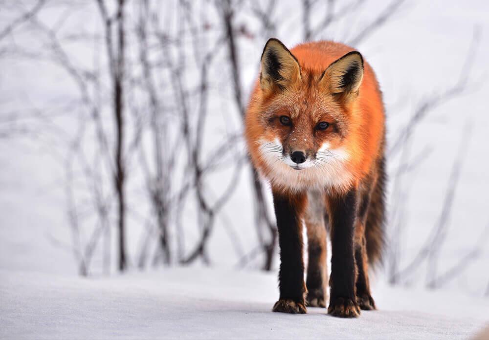 fox-710454_1920