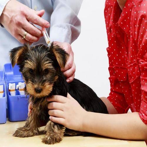 Vacina em Cães