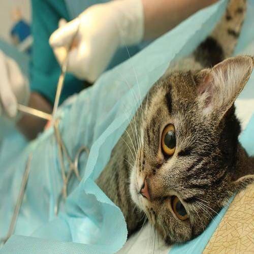Cirurgias em Felinos